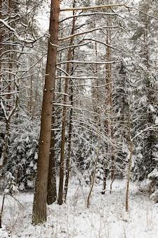 겨울에는 눈이 섞인 침엽수와 낙엽수를 덮고 나뭇 가지와 땅에 하얀 눈이 사방에 있습니다.