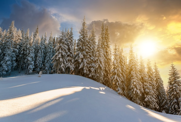 Snow covered pine forest with tall spruce trees landscape in winter mountains at vibrant sunset evening.