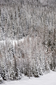 Snow covered pine trees on the alp mountain slope