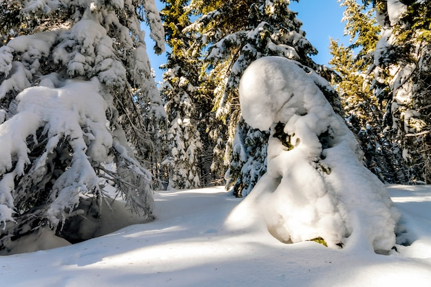 Snow covered pine trees in carpathian mountains in winter sunny day.
