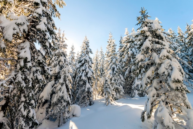 Snow covered pine trees in carpathian mountains in winter sunny day