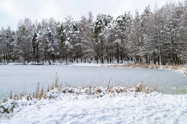 눈은 흐린 날에 소나무를 덮었습니다. 얼음 덮힌 호수. 라트비아의 겨울 풍경입니다. 갈대