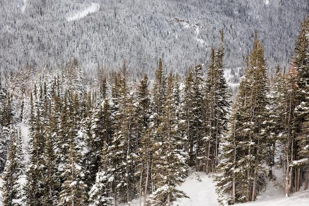 雪に覆われた松のアルプスの山の斜面