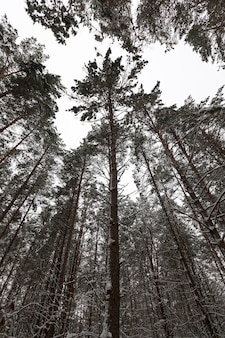 Snow-covered pines growing in the forest in the winter season. frosty weather.