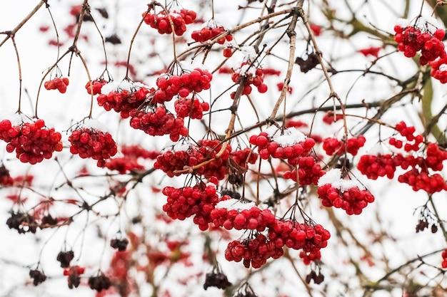 ガマズミ属の木の雪に覆われた赤い果実