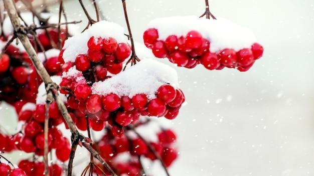 降雪時の雪に覆われた赤いガマズミ属の木の房