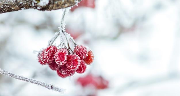 雪に覆われた赤いガマズミ属の果実
