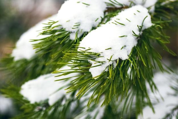 雪に覆われたトウヒの枝が冬の森にクローズアップ