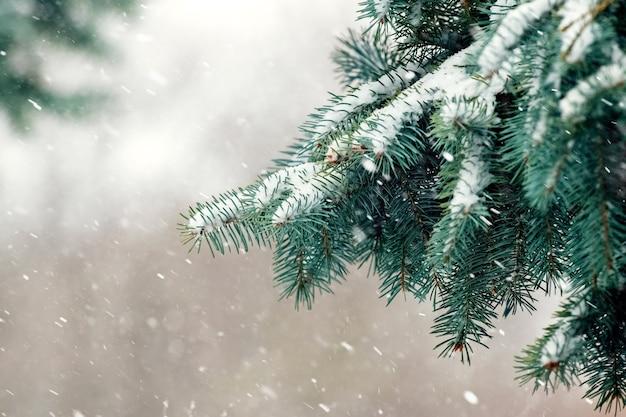 降雪時の雪に覆われたトウヒの枝