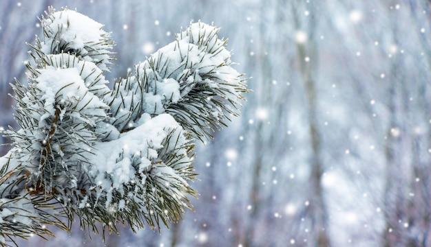 降雪時の冬の森の雪に覆われたトウヒの枝_