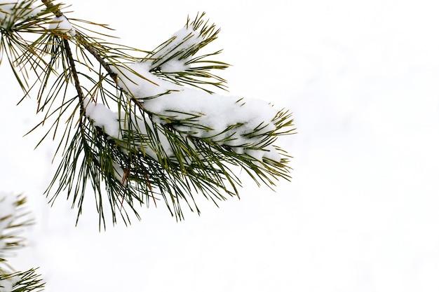 明るい背景に雪に覆われたトウヒの枝