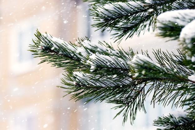 降雪時のタウンハウスの背景に雪に覆われたトウヒの枝