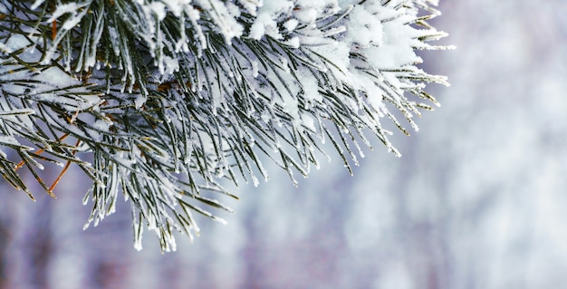 Заснеженная еловая ветка на фоне зимнего леса