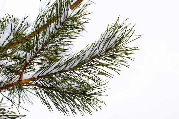 白い背景の上の長い針と雪に覆われたトウヒの枝
