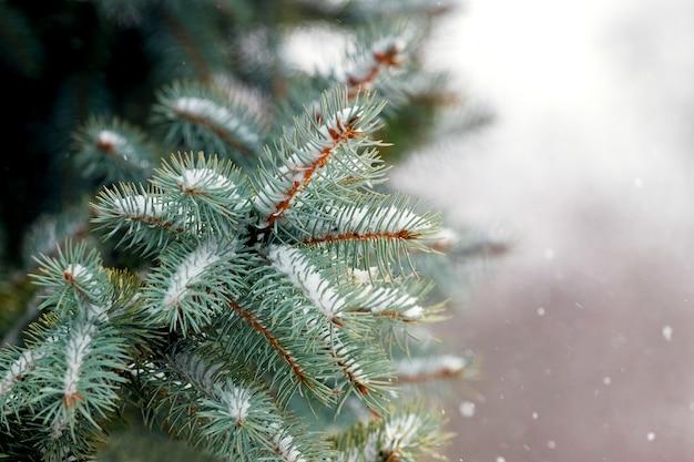 雪に覆われたトウヒの枝