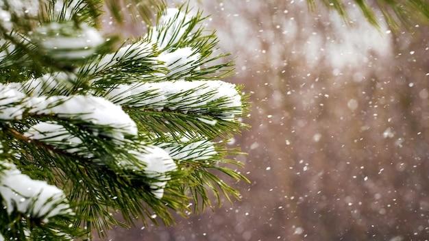 降雪時の森の中の雪に覆われたトウヒの枝