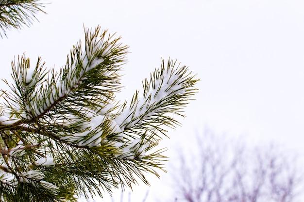 明るい背景の森の雪に覆われたトウヒの枝