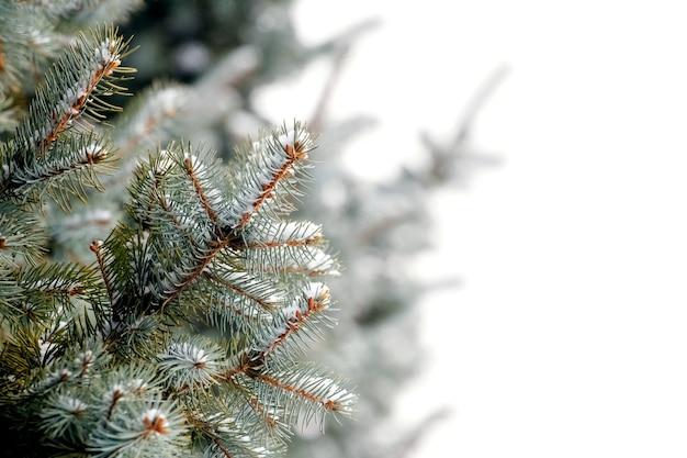 白い背景の上の雪に覆われたトウヒの枝