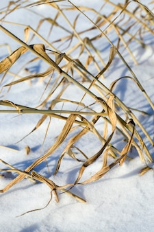 Snow-covered swampy area with dry yellowed grass, close-up in winter