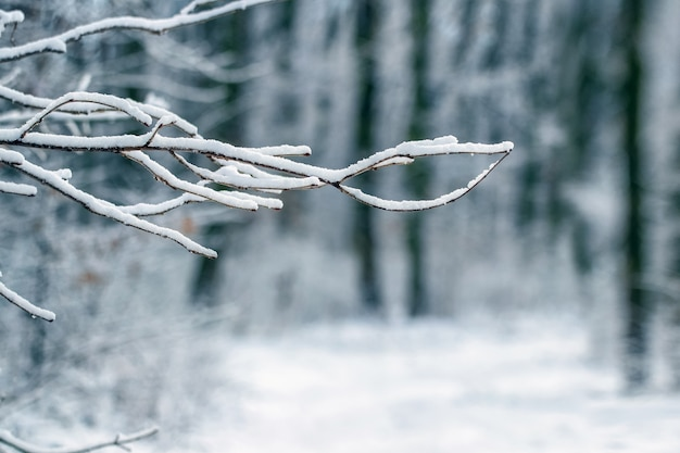 Заснеженная ветка дерева в зимнем лесу, зимний вид
