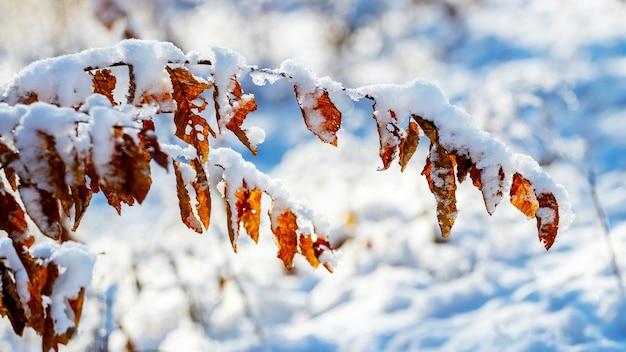 Заснеженная ветка дерева с сухими листьями в солнечную погоду