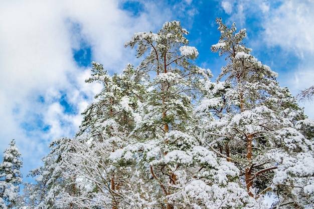 雪に覆われた森の木の枝。雪の中の木のてっぺん。ラトビアの冬の風景