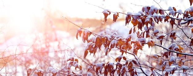 Заснеженные ветви деревьев утром в солнечном свете, панорама
