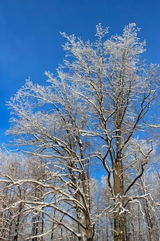 Snow-covered tree branches in winter forest on background of blue sky