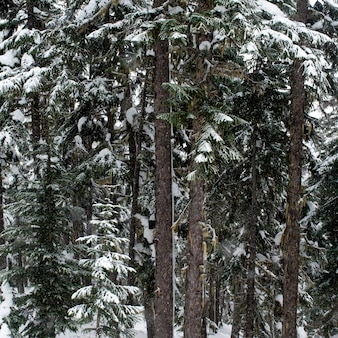 Snow covered trees in a forest, symphony amphitheatre, whistler, british columbia, canada