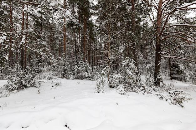森に生えている雪に覆われた木々。冬の季節。凍るような天気