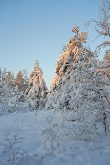 석양 겨울 숲에서 눈 덮인 나무.