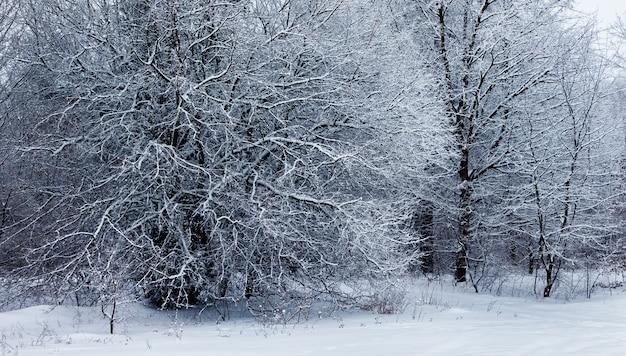 冬の森の雪に覆われた木。冬の風景_ Premium写真