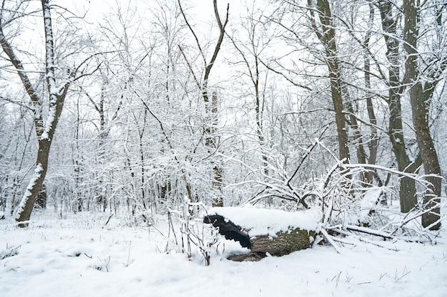 Заснеженный зимний лесной пейзаж. старые упавшие бревна засыпаны свежим снегом.