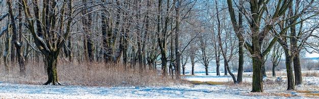 Заснеженный зимний лес с голыми деревьями в солнечную погоду, панорама