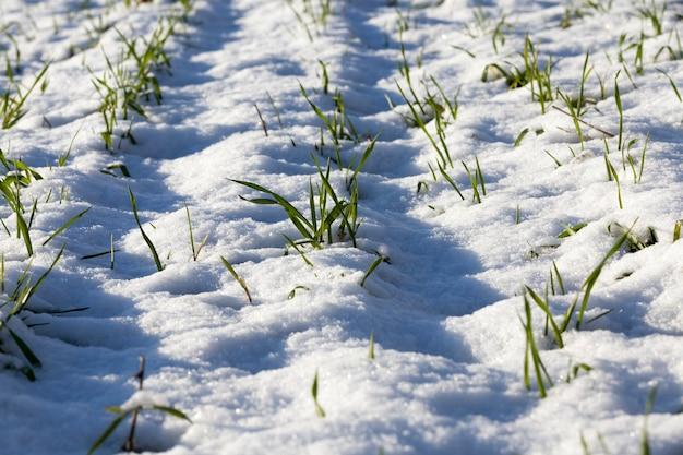 눈 덮인 젊은 녹색 밀 새싹, 겨울 눈으로 덮여 있습니다. 농촌 농업