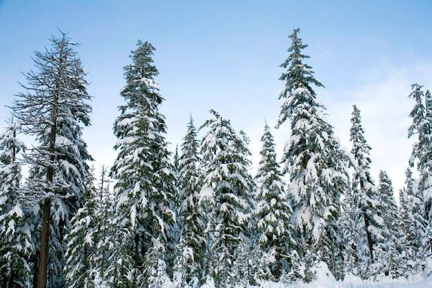 Snow fallen on cedars