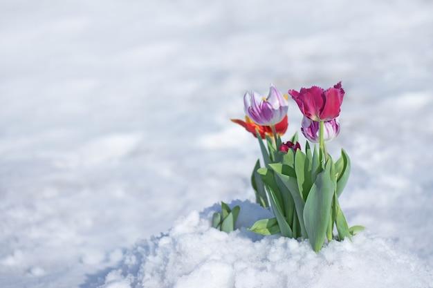 チューリップの花に降る雪。 4月の春の雪の下での混合色のチューリップ異常気象と雪