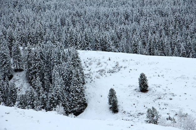 Snow floor with pine forest background at the swiss alps of the jungfrau region.