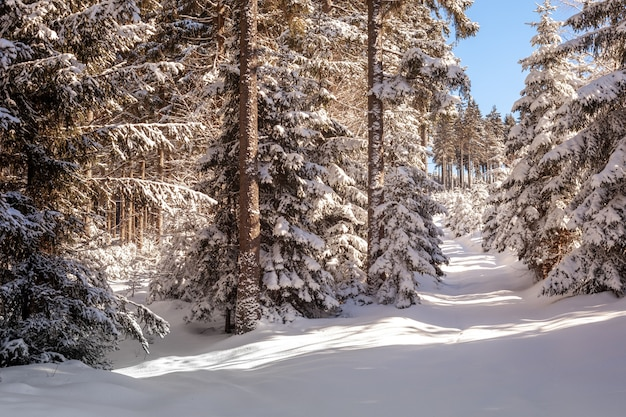 Snow in the forest in a sunny day