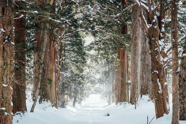 Snow forest at togakushi shrine, japan