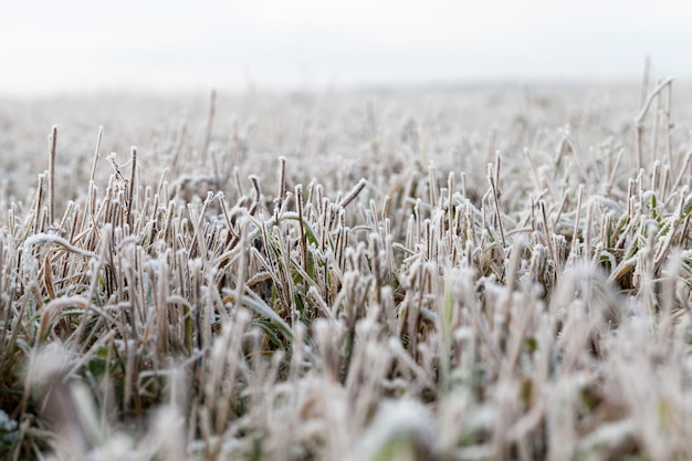 Snow and ice covered  grass in winter