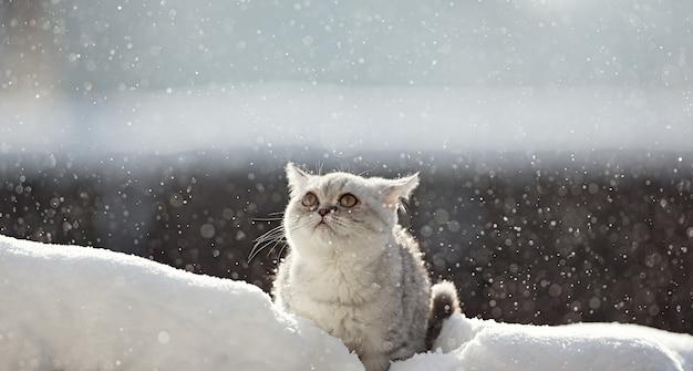 雪の子猫の猫の品種スコットランド