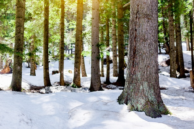 Snow larch forest with sunlight and shadows beautiful green pine trees