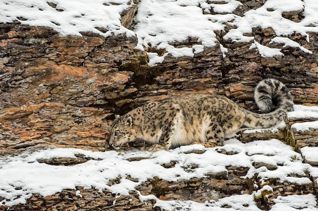 Snow leopard crouched on a rocky cliffside in the winter in the snow