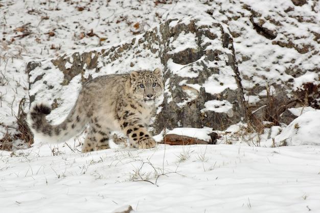 Snow leopard cub walking along bottom of cliff