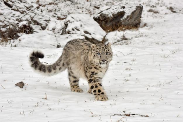 Прогулка по снежному барсу