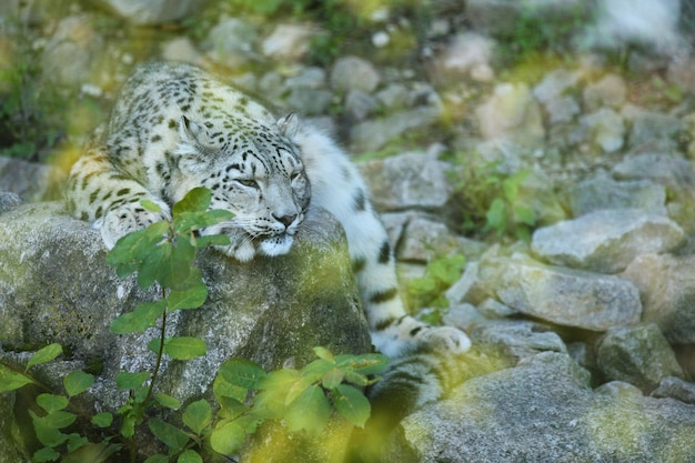 Snow leopard portrait in amazing light