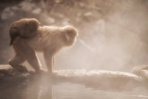 Snow monkey family in jigokudani park at sunset