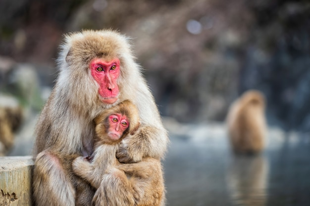Snow monkey hug at jigokudani park