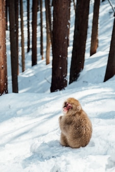 Snow monkey in japan